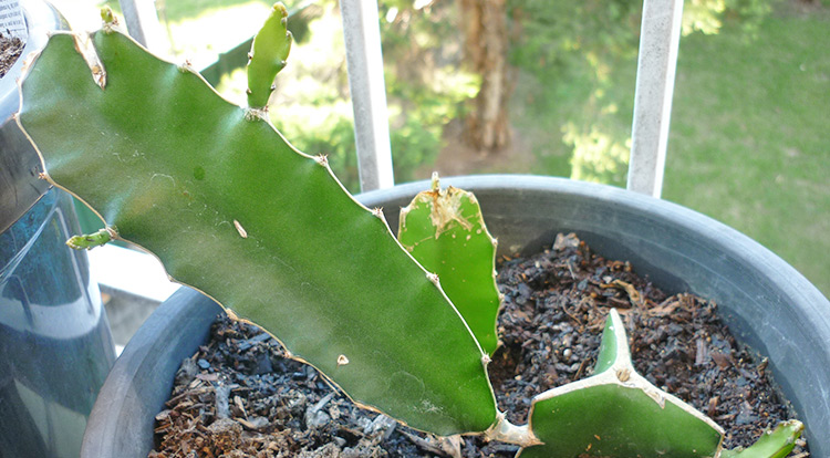 3 How to, Balcony plants: Dragon fruit. cutting.