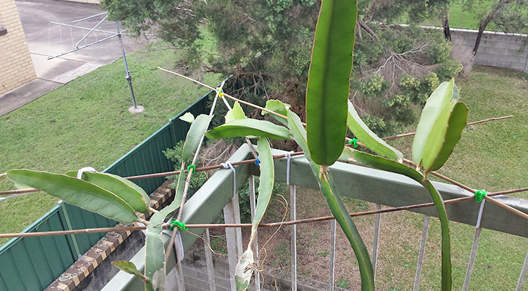 3 How to, Balcony plants: Dragon fruit. Protect it from afternoon sun.