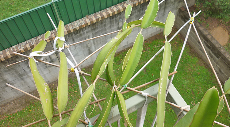3 How to, Balcony plants: Dragon fruit. Give enough water per time.