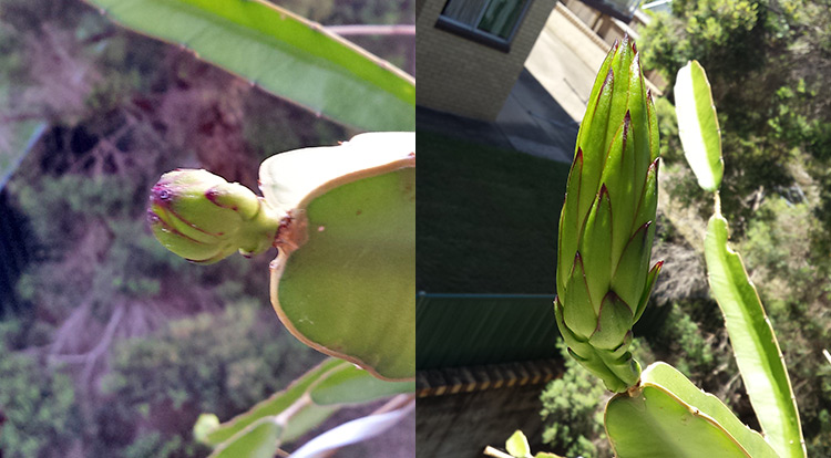 3 How to, Balcony plants: Dragon fruit. blooming.