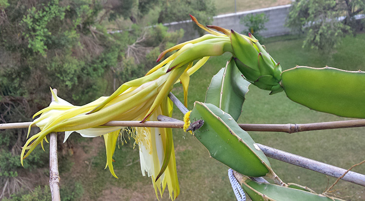 3 How to, Balcony plants: Dragon fruit. flower.