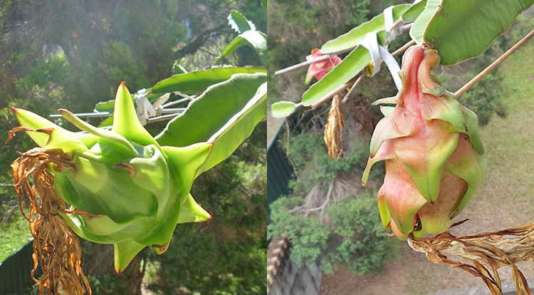3 How to, Balcony plants: Dragon fruit. fruit.