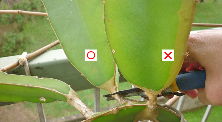 3 How to, Balcony plants: dragon fruit cutting