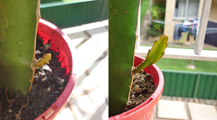 3 How to, Balcony plants: dragon fruit cutting.