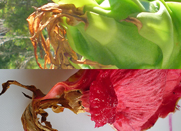 grow-edible-plants-on-balcony-dragon-fruit-can you remove the vestigial flower