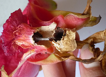 grow-edible-plants-on-balcony-dragon-fruit-removed vestigial flower off