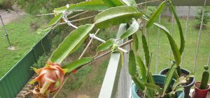 grow-edible-plants-on-balcony-dragon-fruit