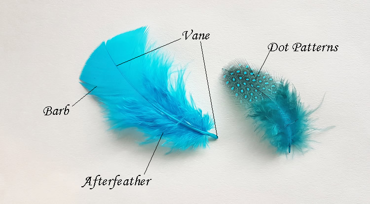 The names of the parts of the feather